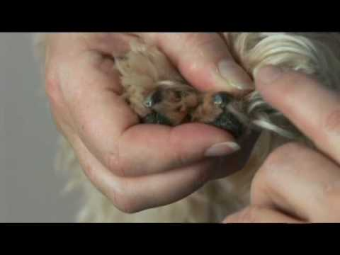 how to cut yorkies nails