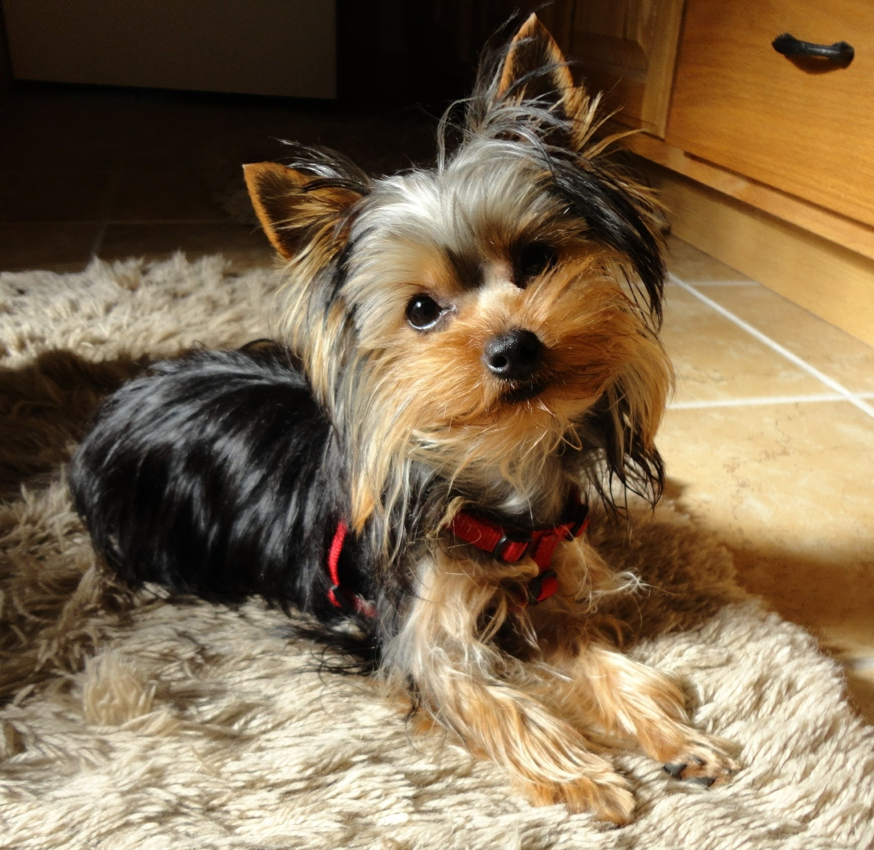 causes of death in yorkies