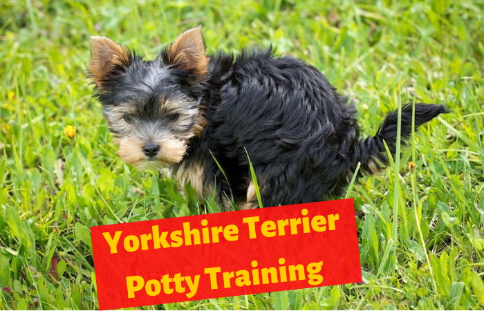 How to Potty Train a Yorkshire Terrier?