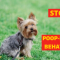 15 Actionable Steps to Stop your Yorkie from Eating his Poop