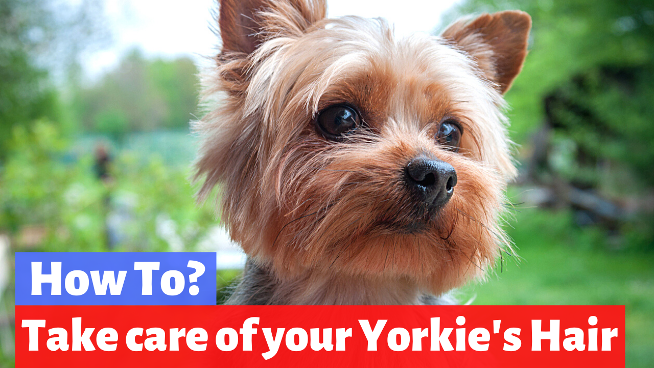 How to Properly Take Care of your Yorkie's Hair?
