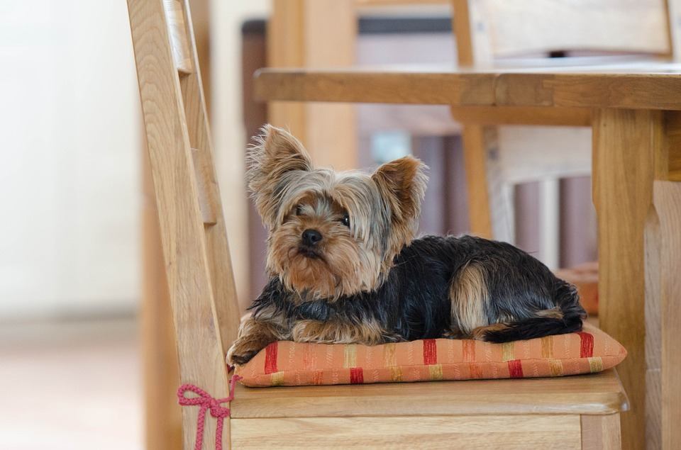 life expectancy of Yorkshire Terriers