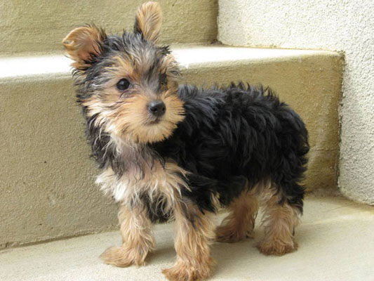 Yorkshire terrier life expectancy