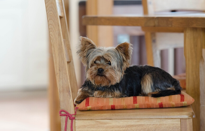 What kind of Human food can Yorkshire Terriers eat?