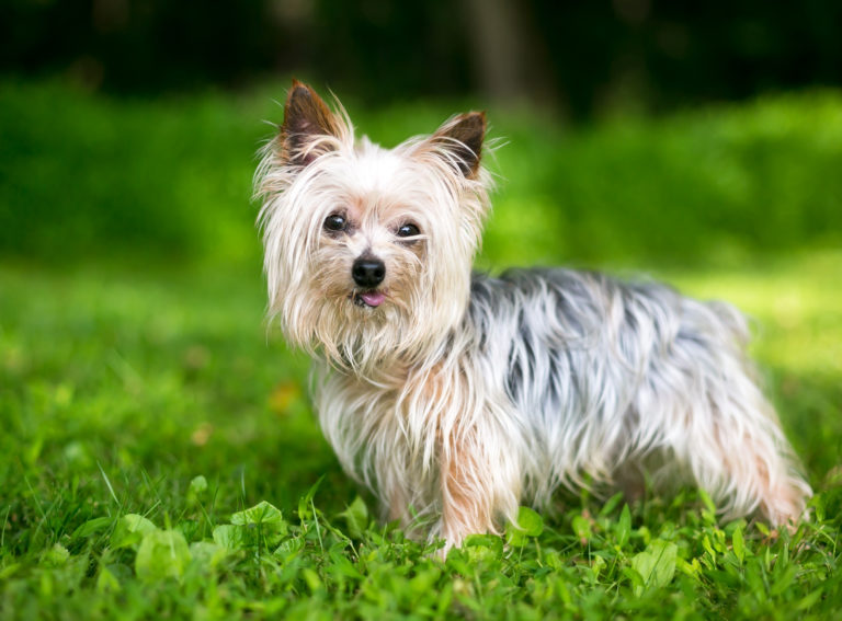 what you need to potty train your yorkie