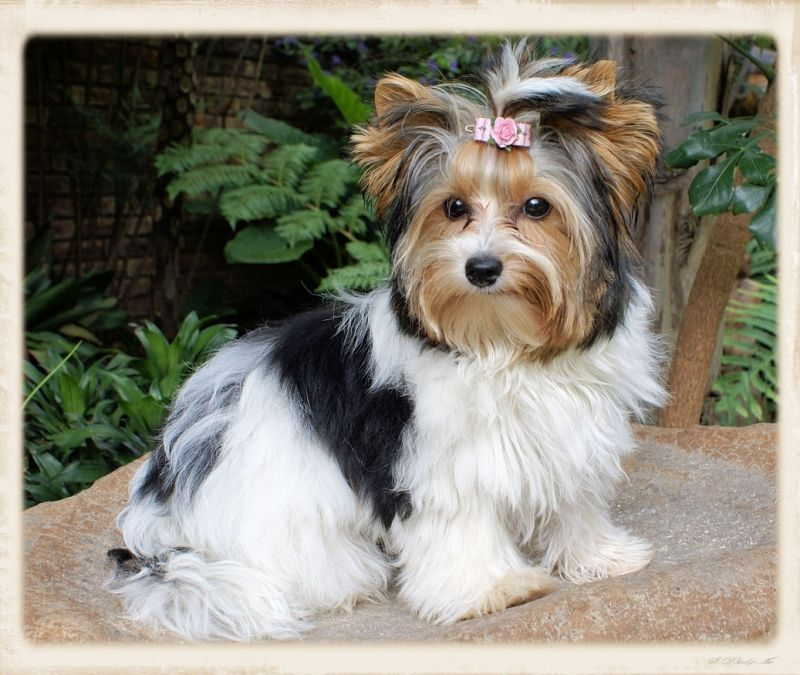 why are parti yorkies confused as biewer terriers