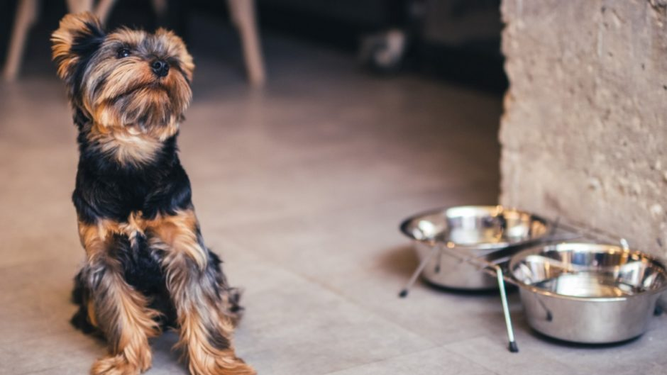 why yorkie eats poop