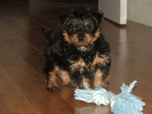 yorkie housebreaking rules