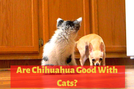 Are Chihuahuas good with Cats?
