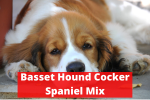 Basset Hound Cocker Spaniel Mix breed