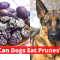 Can dogs eat Prunes? | Read This Before you Feed