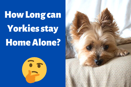 How Long can Yorkies stay Home Alone_