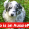 Aussiepoo v/s Aussiedoodle: What is the Difference between them?