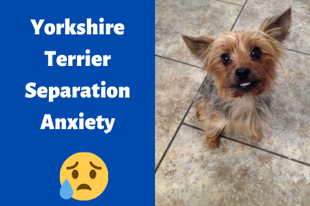 Yorkshire Terrier separation anxiety