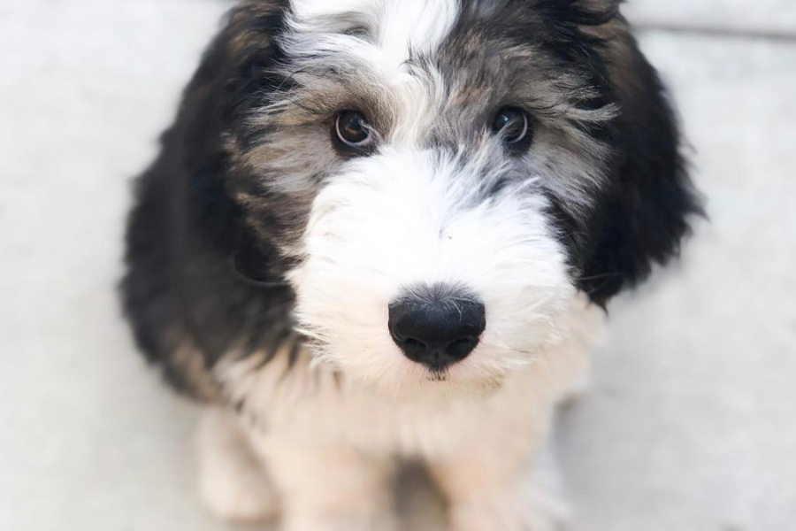 are sheepadoodle family dogs