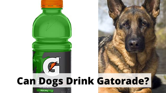 Can dogs drink Gatorade?