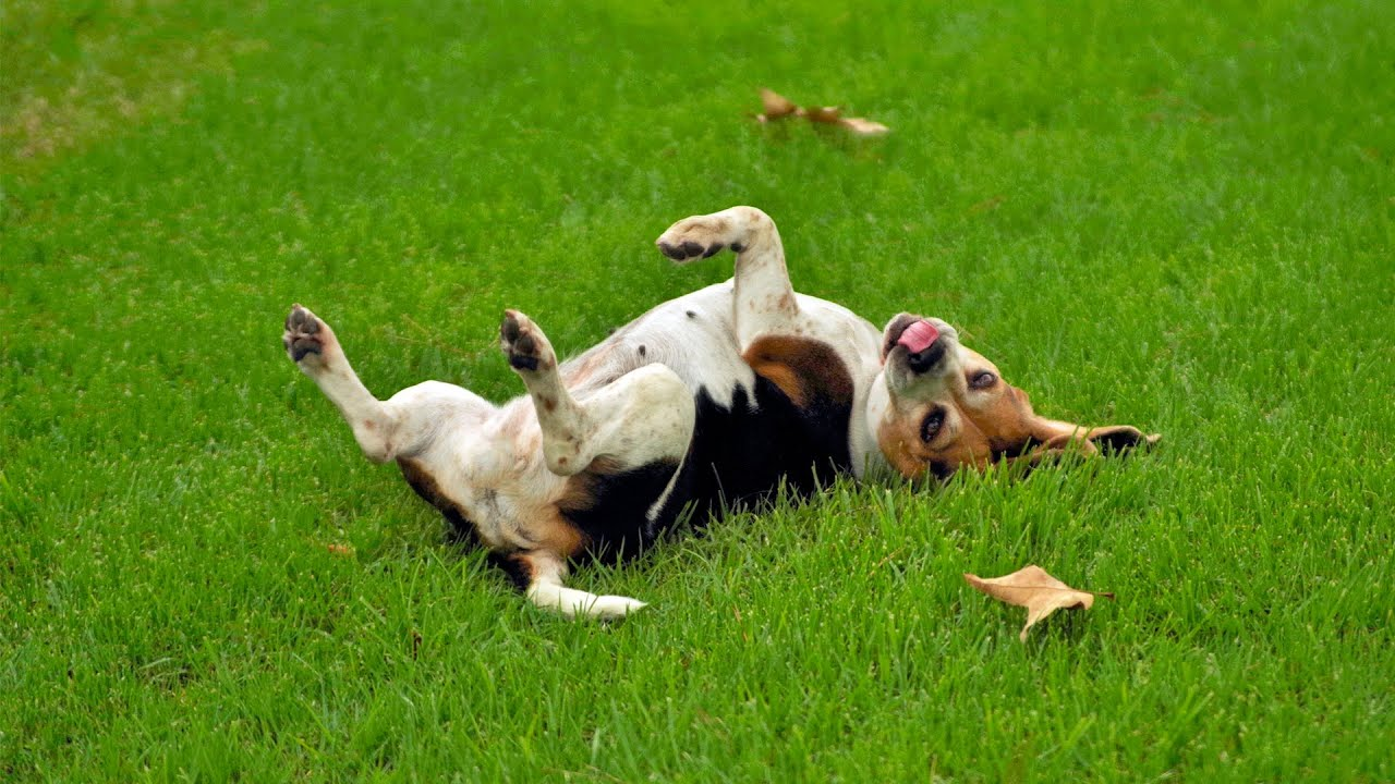 "6 Steps to Teach Your Dog to Roll Over and ""Play Dead"""