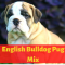 Complete Guide on English Bulldog Pug Mix: Should you even get one?
