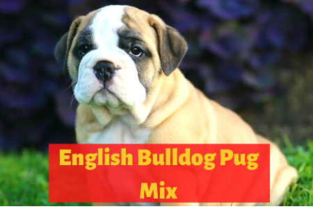 english bulldog pug mix