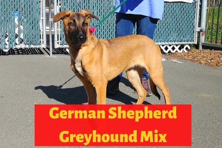 Detailed Guide on German Shepherd Greyhound Mix: The Shephound