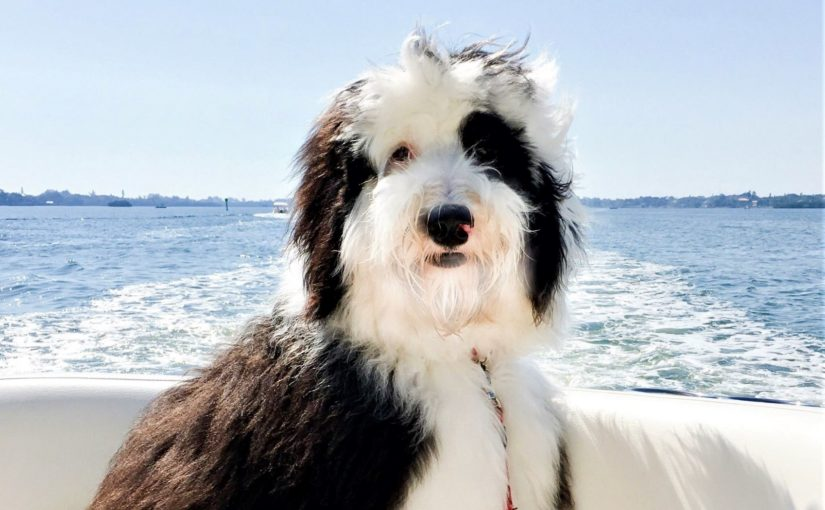 introduction to sheepadoodle