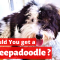 Is Sheepadoodle the right breed for you and your family?