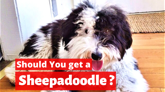 is Sheepadoodle right for you