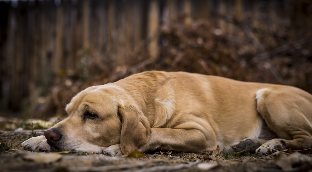 How to Teach your Dog to Lay Down on Command