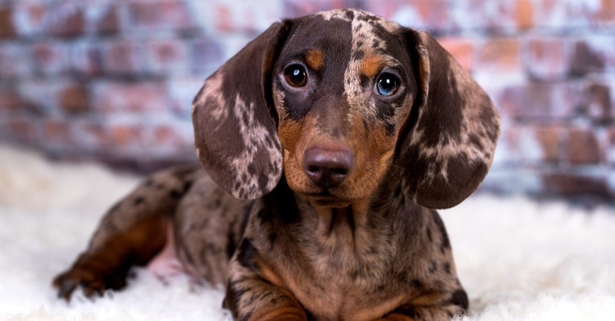 Expert Tips for Taking Care of a Dachshund