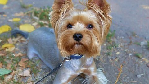What Should you Do If your Yorkie is Shivering or Shaking?